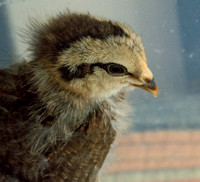 chicks, August 3, 2014 (3 of 11)