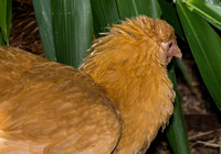 chicks, August 3, 2014 (10 of 19)