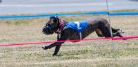 running dogs, 5/29/16 fairfield  d500 150-600