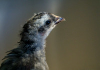 chicks, August 3, 2014 (1 of 7)-2