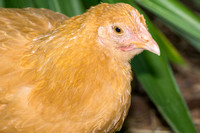 chicks, August 3, 2014 (18 of 19)