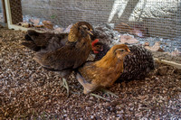 chicks, August 3, 2014 (5 of 5)-2