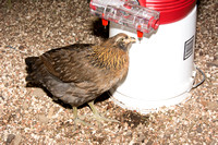 chicks, August 3, 2014 (11 of 18)