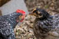 chicks, August 3, 2014 (2 of 13)