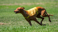 Lure Coursing 25-Jun-17