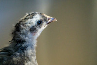 chicks, August 3, 2014 (2 of 7)-2