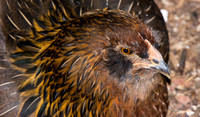 chicks, August 3, 2014 (11 of 26)