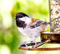chicks and chickadee and hummer oct 15, 2014