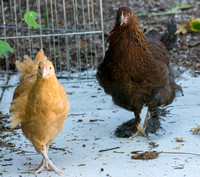 chicks, August 3, 2014 (10 of 15)-2