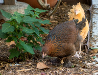 chicks, August 3, 2014 (11 of 15)-2